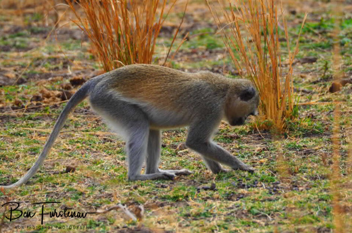 Looking for insects in South Luangwa National Park, Zambia