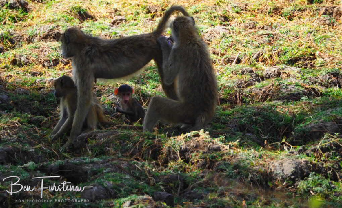 Mhhh, tastiest pieces, South Luangwa National Park, Zambia