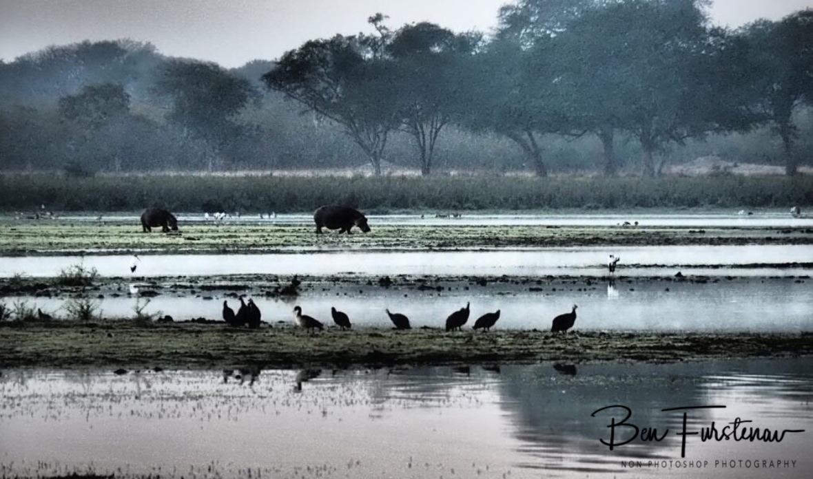 Hippos grazing early morning at Lake Kazuni, Vwaza Marsh National Reserve,Malawi