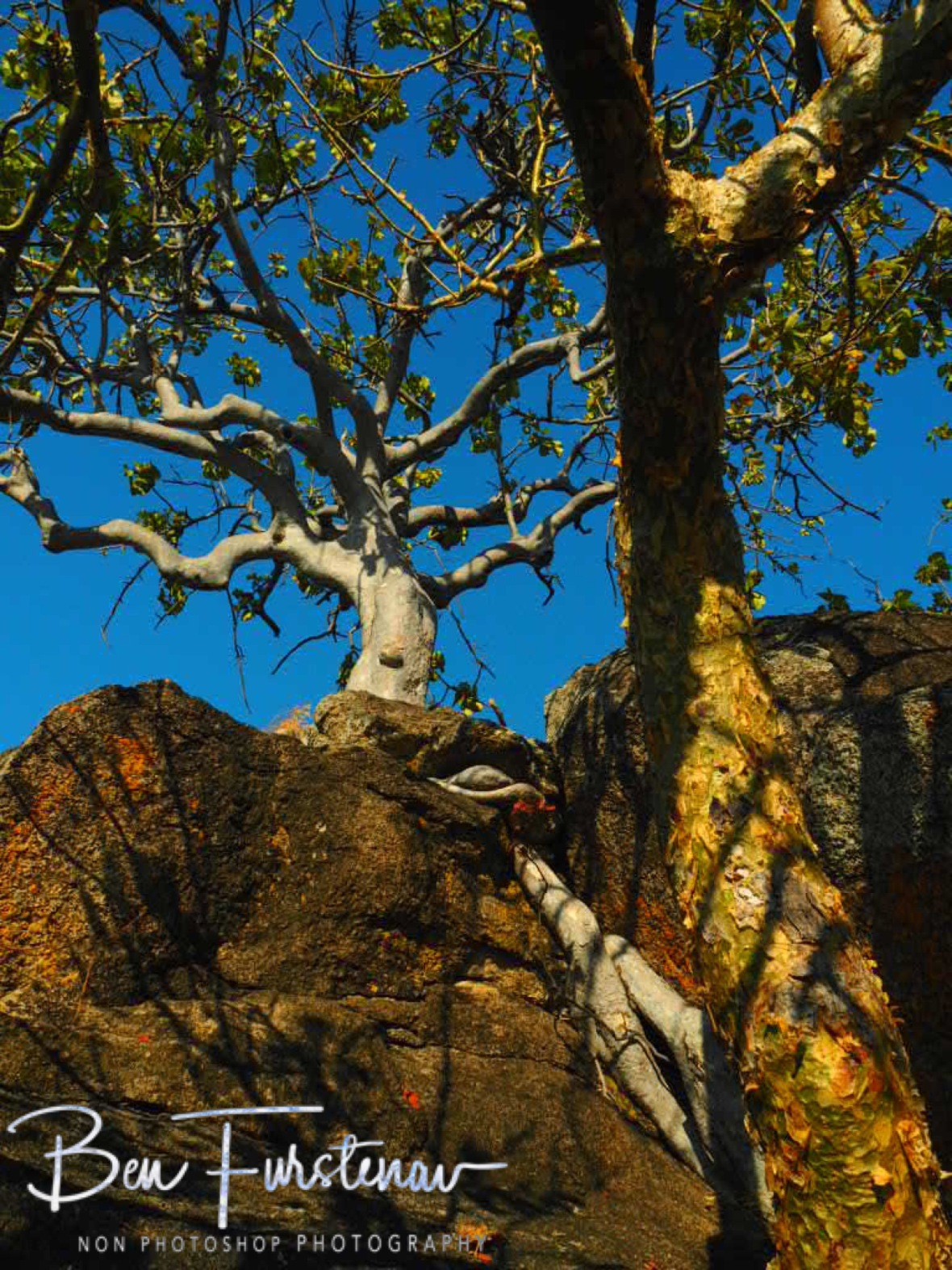 Trees gripping roots along granite in Monkey Bay, Lake Malawi, Malawi