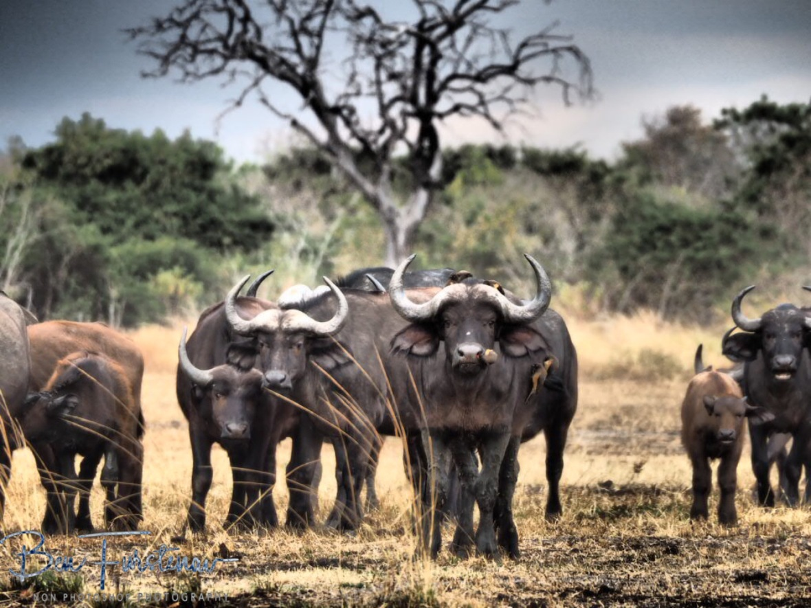 The leading group off buffalo, South Luangwa National Park, Zambia