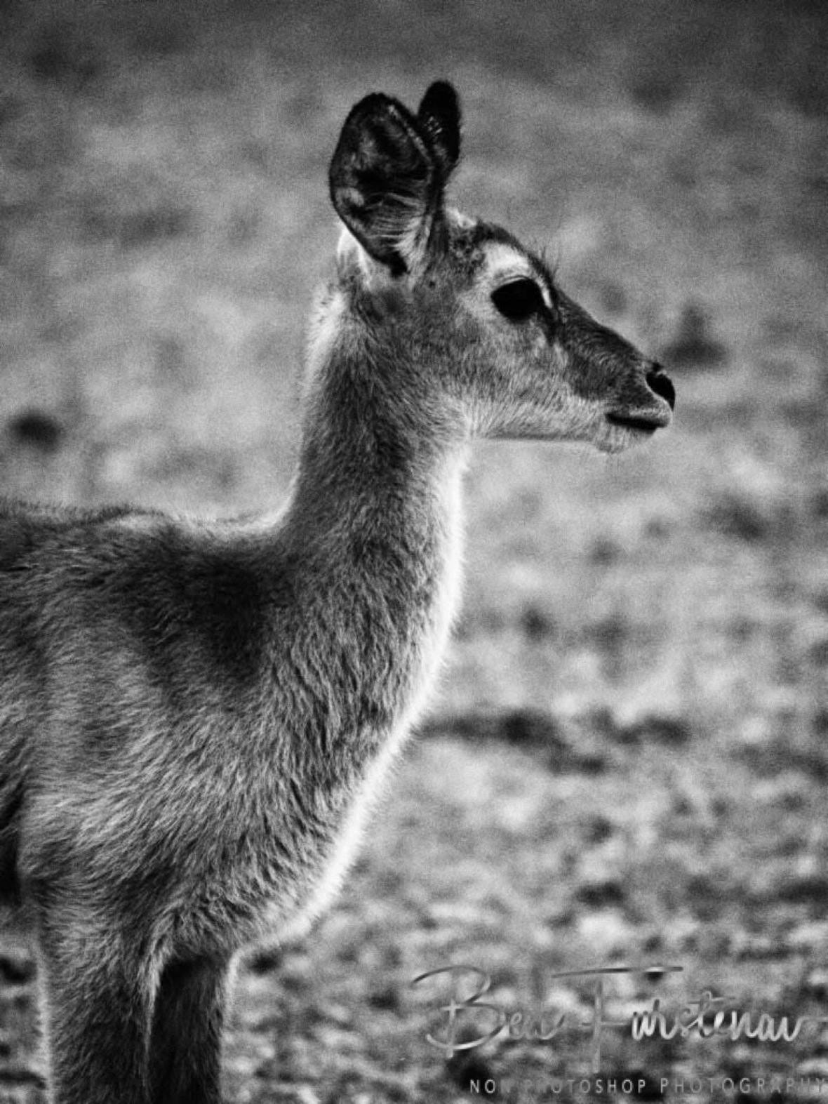 Even in black and white, an eyeful, South Luangwa National Park, Zambia