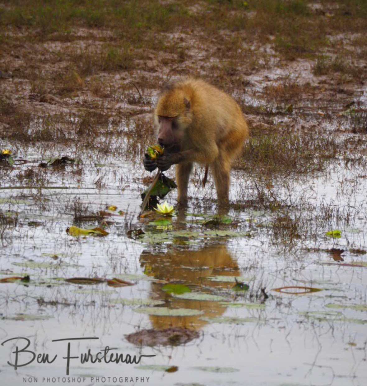 Digging up water lilies, South Luangwa National Park, Zambia
