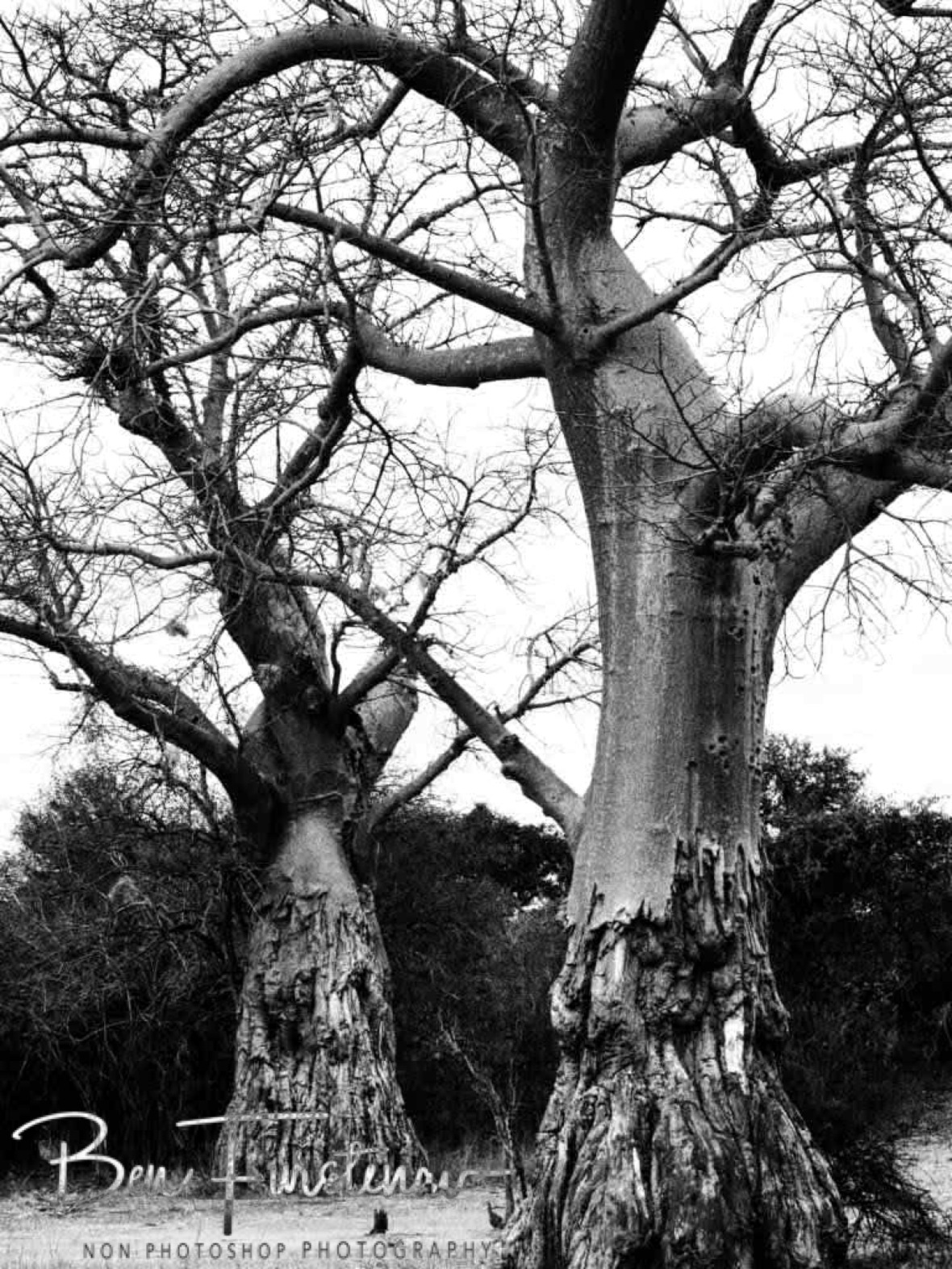 Scratched up Baobab twins, South Luangwa National Park, Zambia