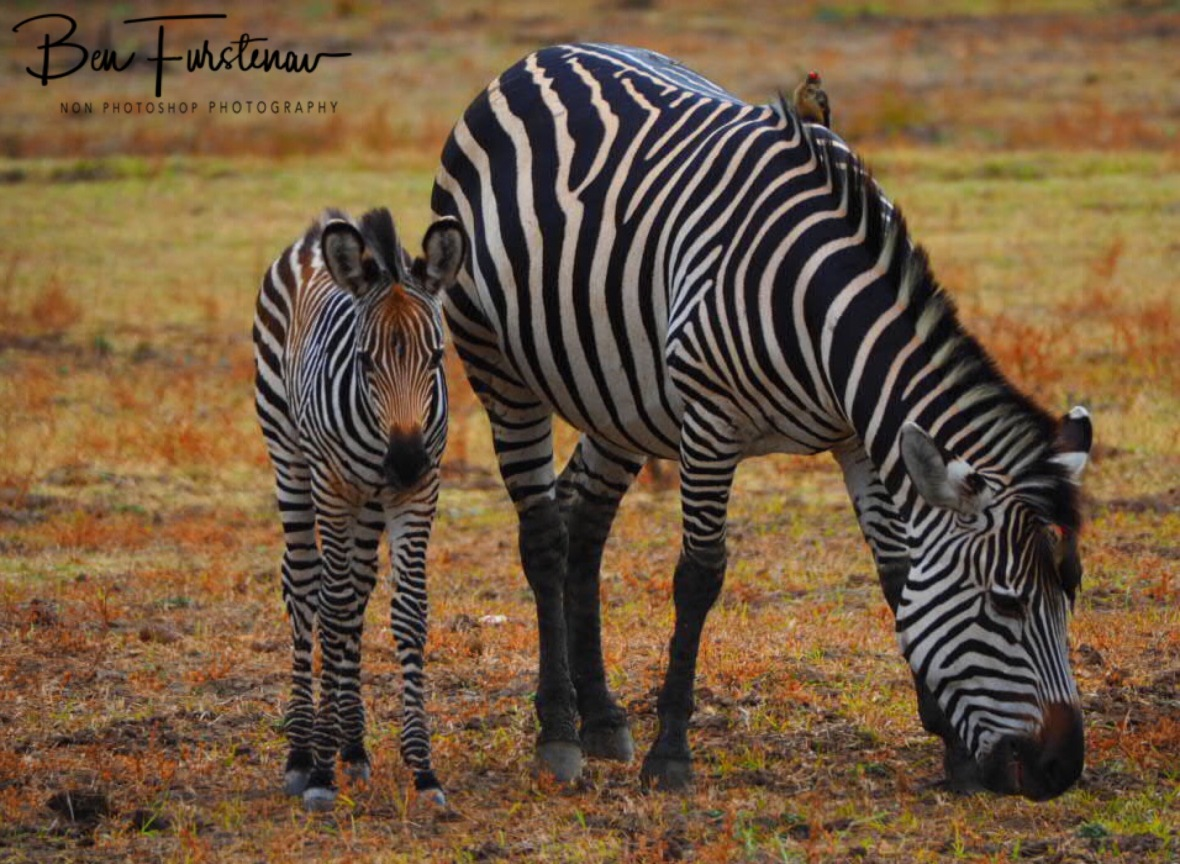 Zebra Mother and fowl in South Luangwa National Park, Zambia