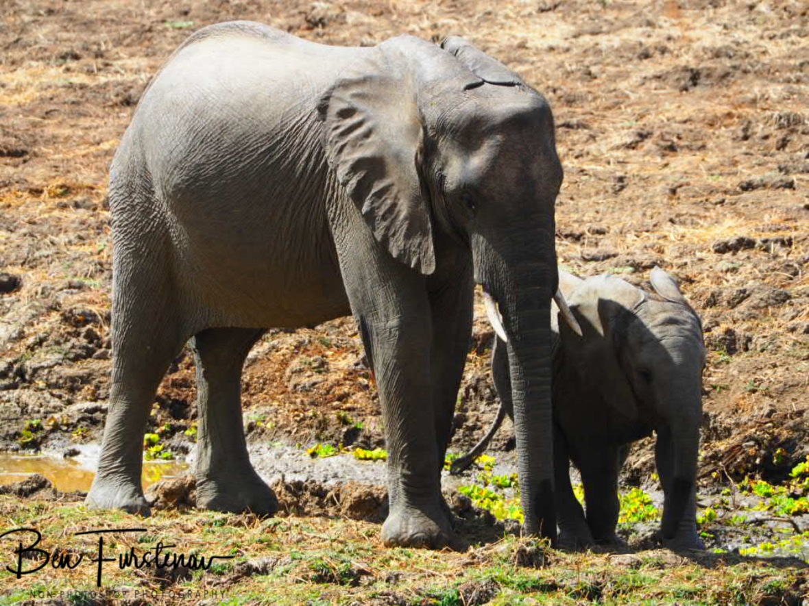 Social display by elephants, South Luangwa National Park, Zambia