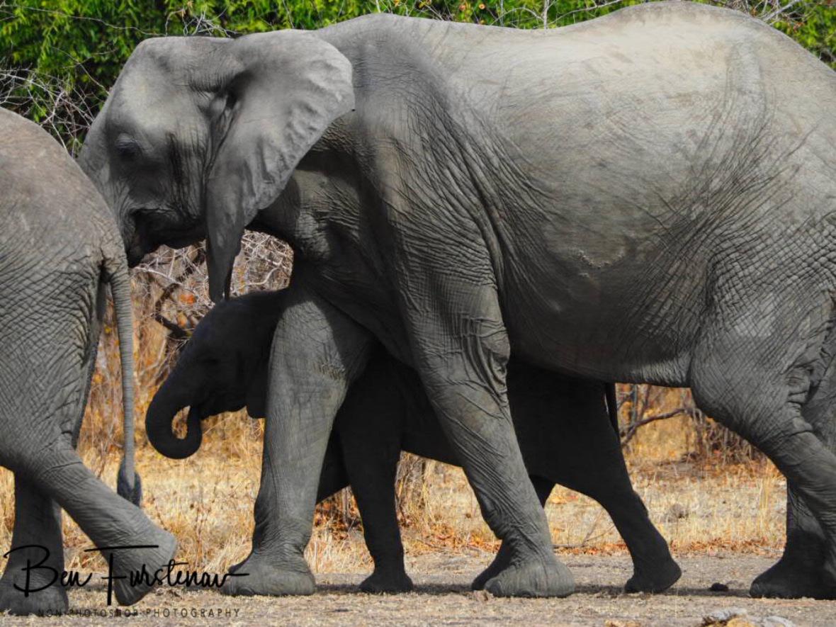 Leaving elephant tracks behind, South Luangwa National Park, Zambia