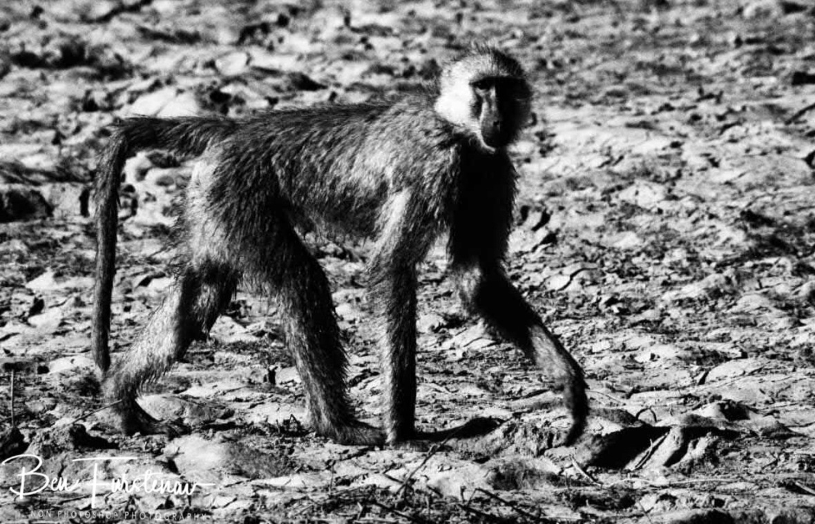 Baboon on dry mud, Vwaza Marsh National Reserve, Malawi