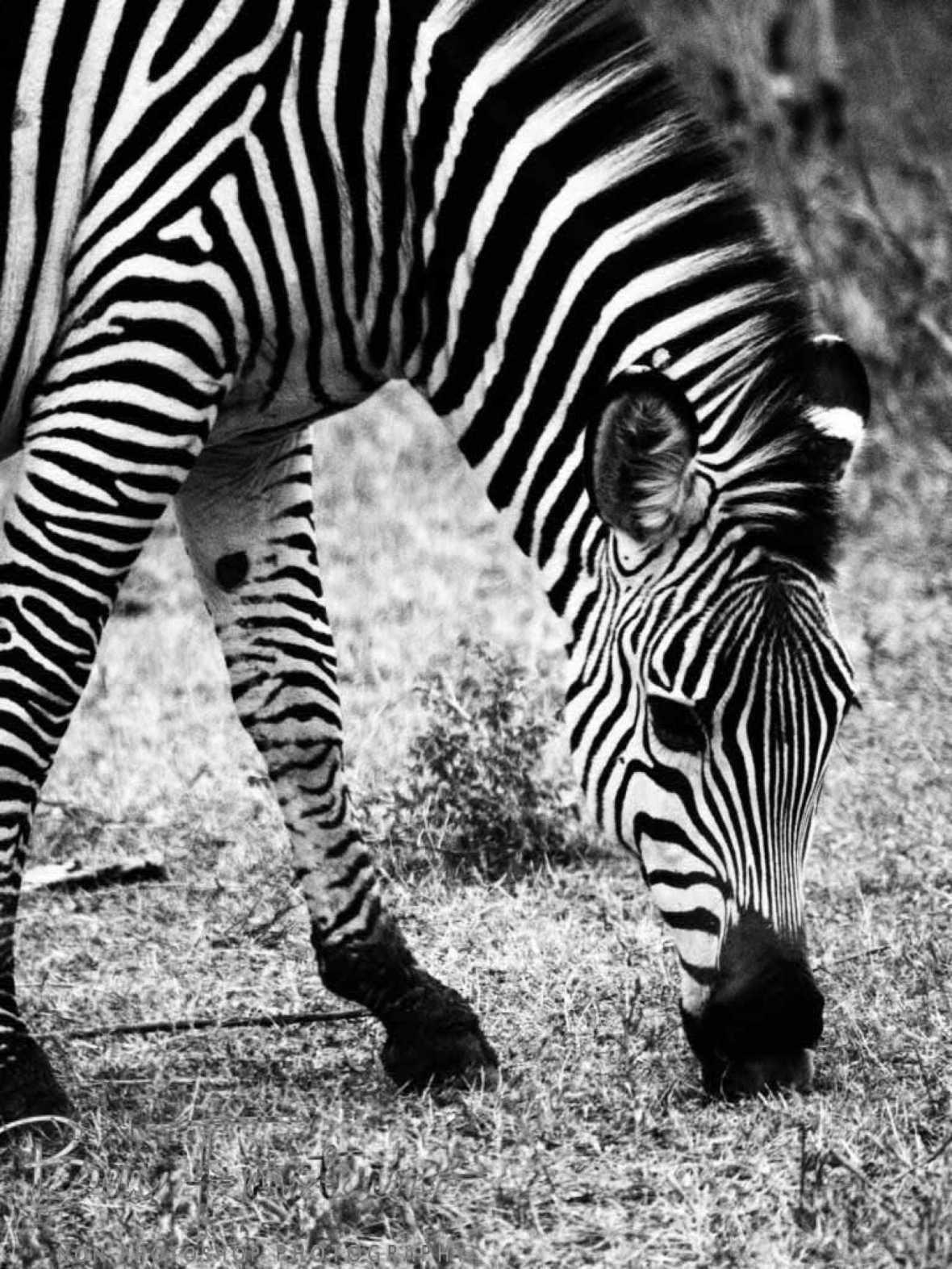 Grazing zebra in black and white, South Luangwa National Park, Zambia