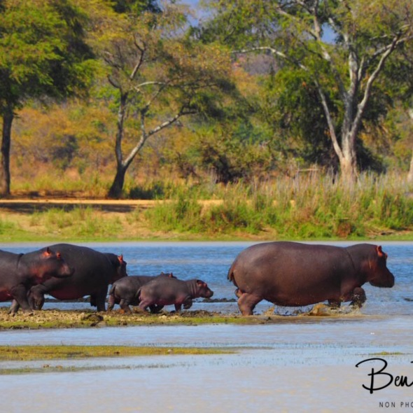 Back in to the water, Vwaza Marsh National Reserve, Malawi