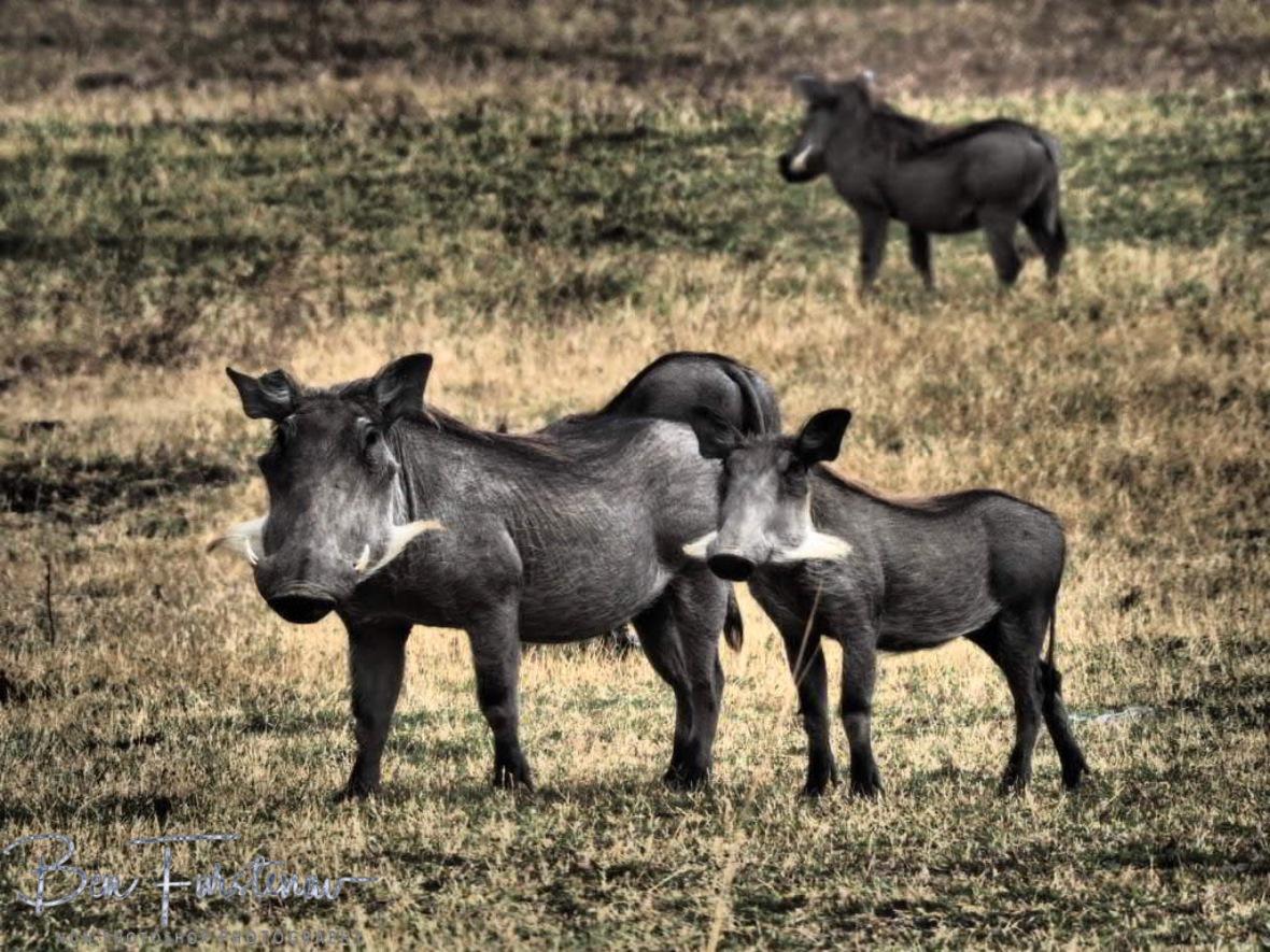 Warthogs on the plains, South Luangwa National Park, Zambia