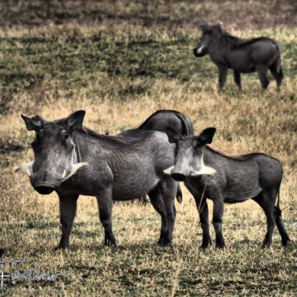 Warthogs on the plains, South Luangwa National Park, Zambia