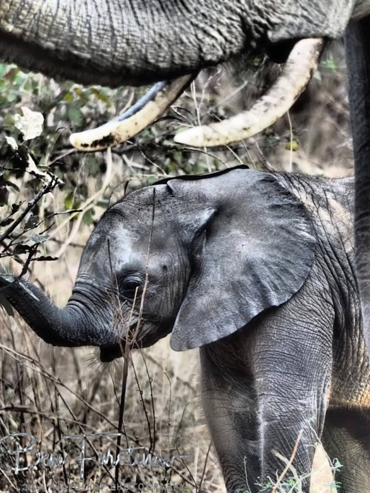 Large and small trunk, South Luangwa National Park, Zambia