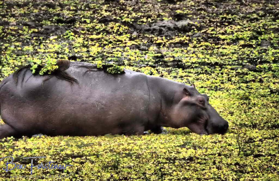 Hippo food and fashion in South Luangwa National Park, Zambia