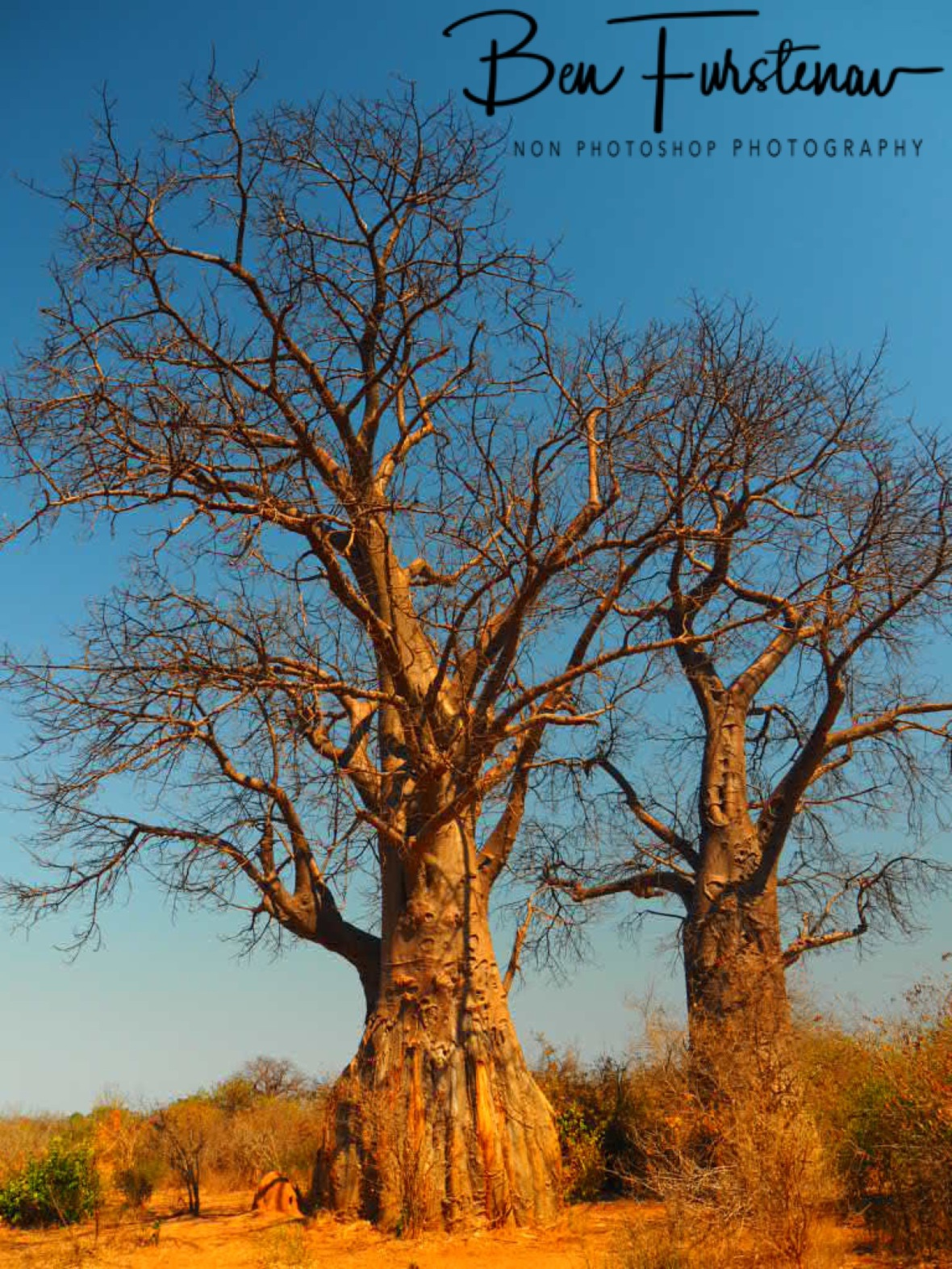 Baobab giants on red soil, Lower Zambezi National Park, Zambia