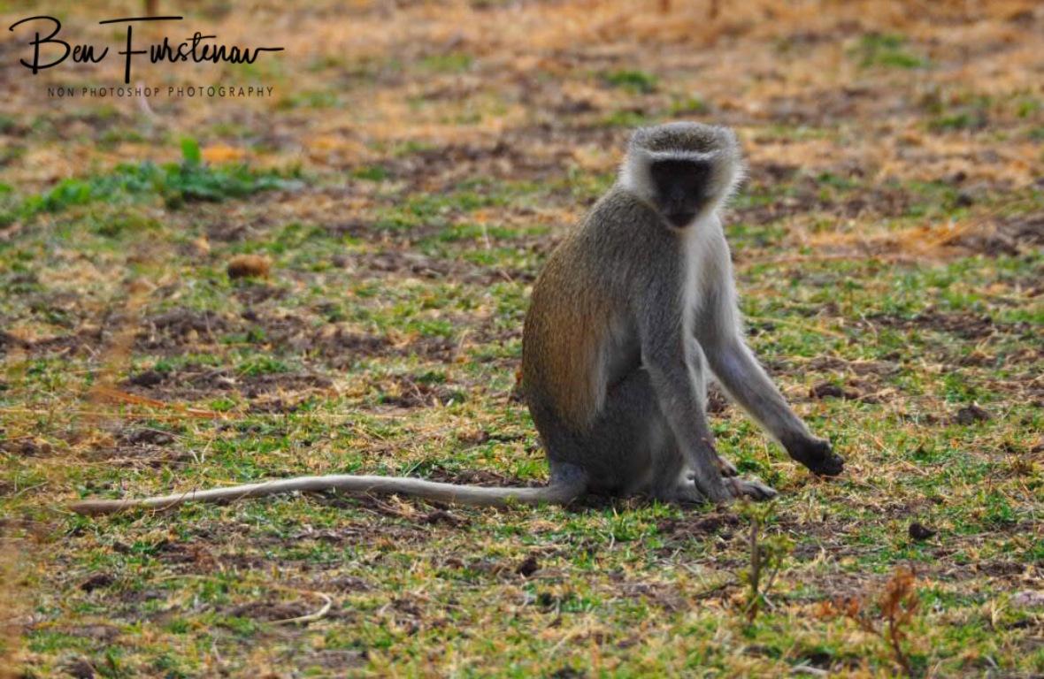 Vervet display, South Luangwa National Park, Zambia