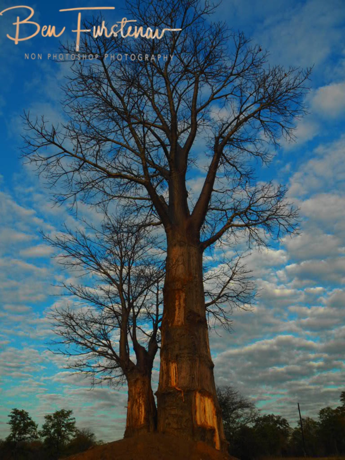 Baobab with rising sun, Lower Zambezi Valley, Zambia