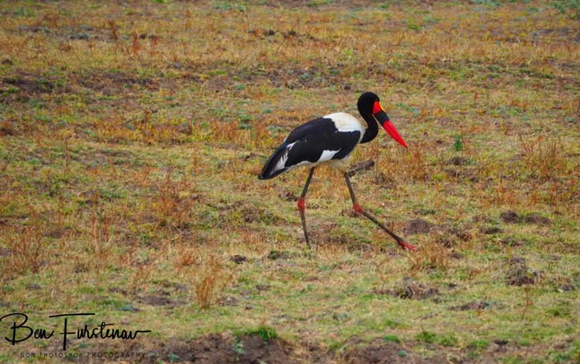 Saddle stork stalking the plains, South Luangwa National Park, Zambia