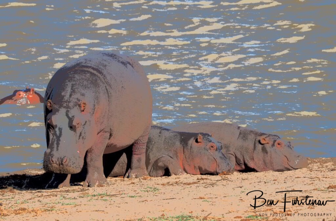 Smiley hippo kids in the sun, while one enjoys the waters, Vwaza Marsh National Reserve, Malawi