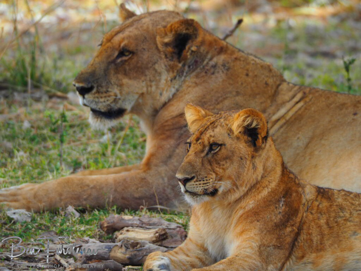 Lioness and cub in South Luangwa National Park, Zambia