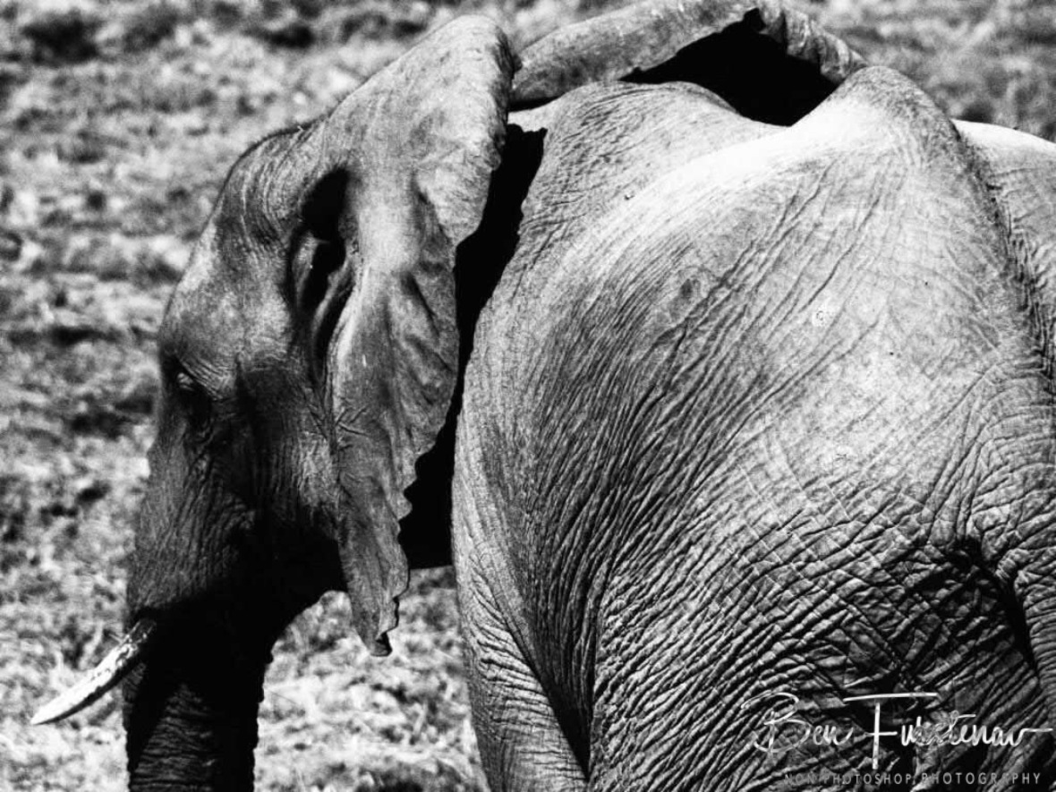Grey giant in black and white, South Luangwa National Park, Zambia