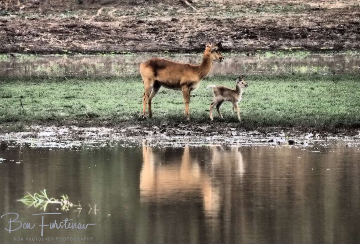 Puku Mother and fowl reflections, South Luangwa National Park, Zambia