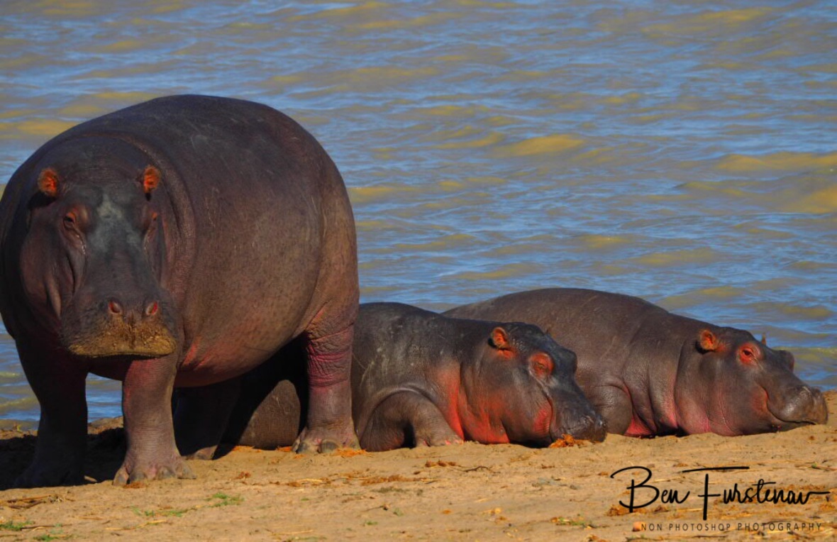 Hippo mom vary off danger, Vwaza Marsh National Reserve, Malawi