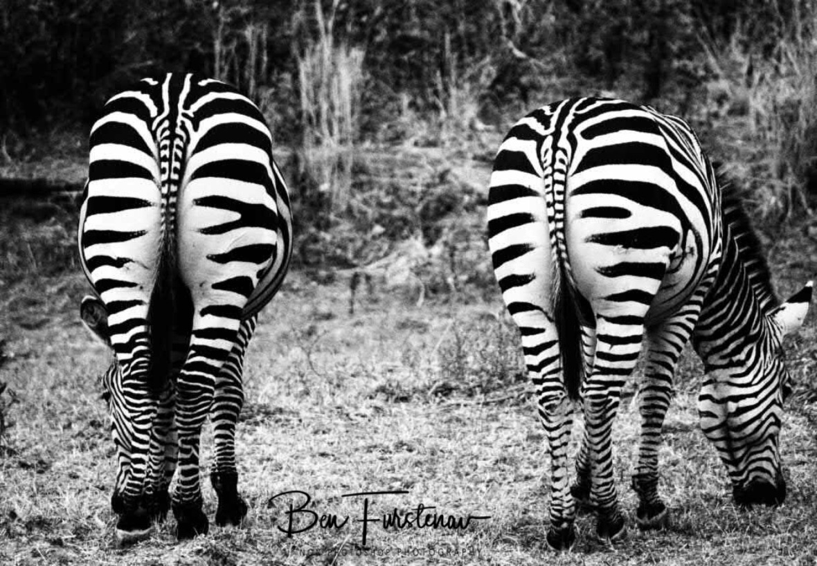 Stripes all the way, South Luangwa, Zambia