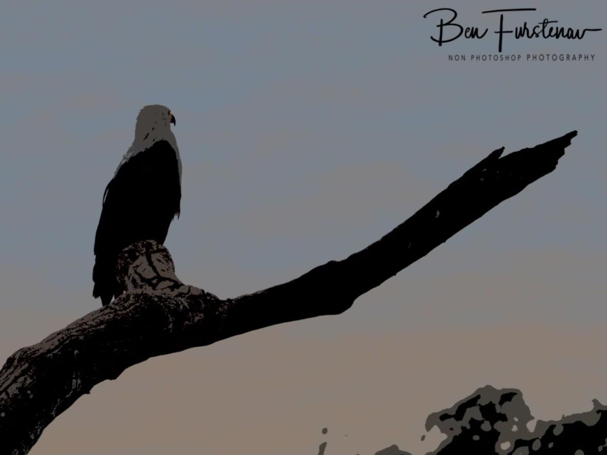 Fish Eagle, a majestic sight, South Luangwa National Park, Zambia
