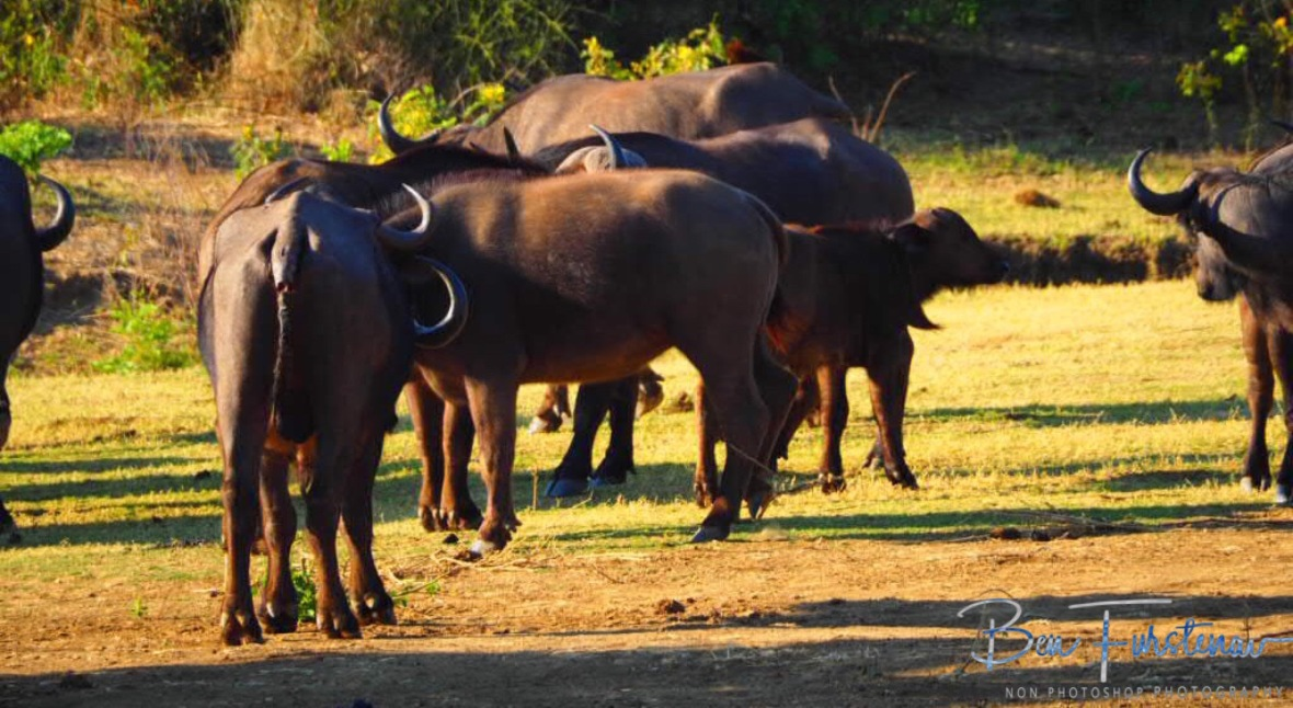 Unaware herd of buffalo, Lower Zambezi National Park, Zambia