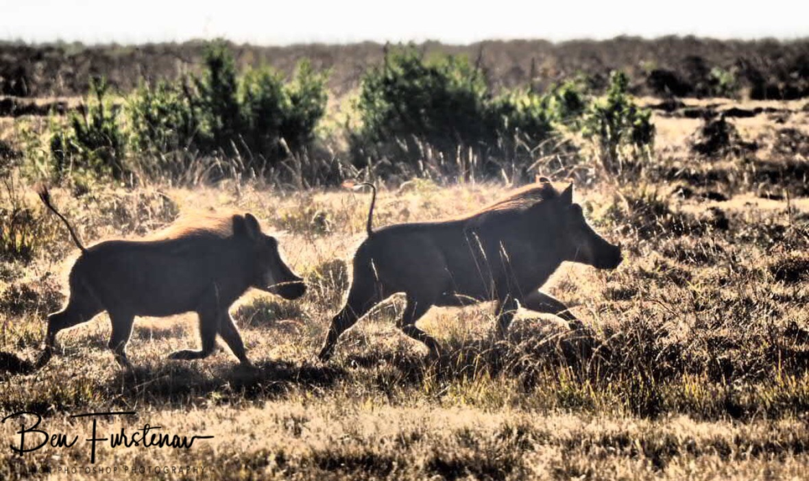 Pumba's family, Nyika National Park, Malawi