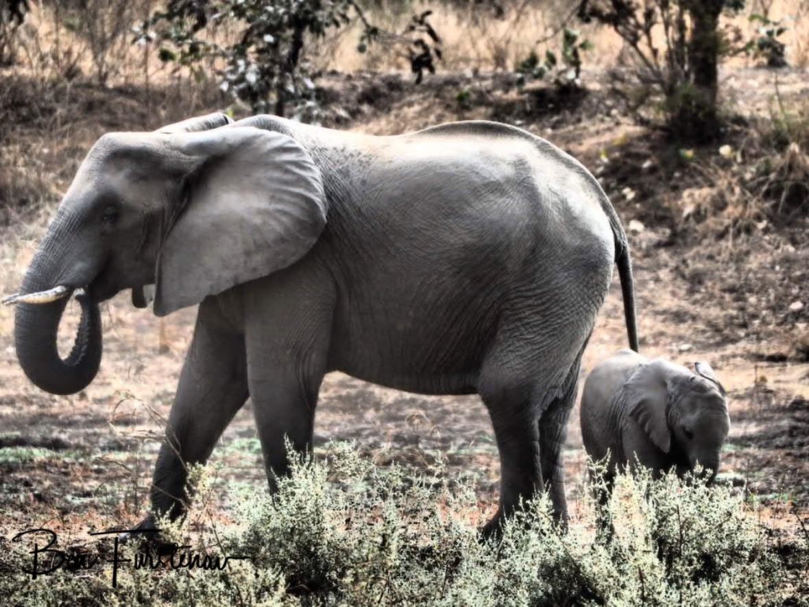 Elephant mom and calf, South Luangwa National Park, Zambia