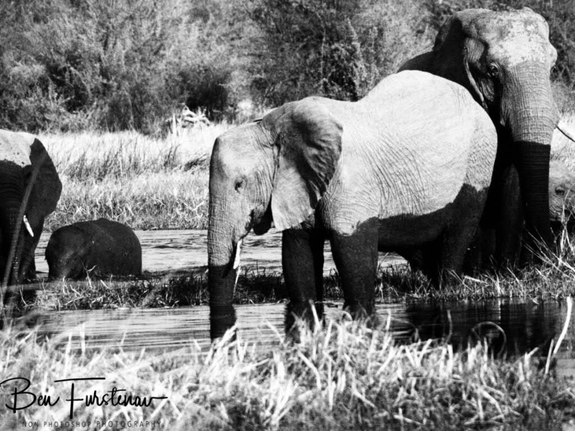 At last in the water, Moremi National Park, Botswana