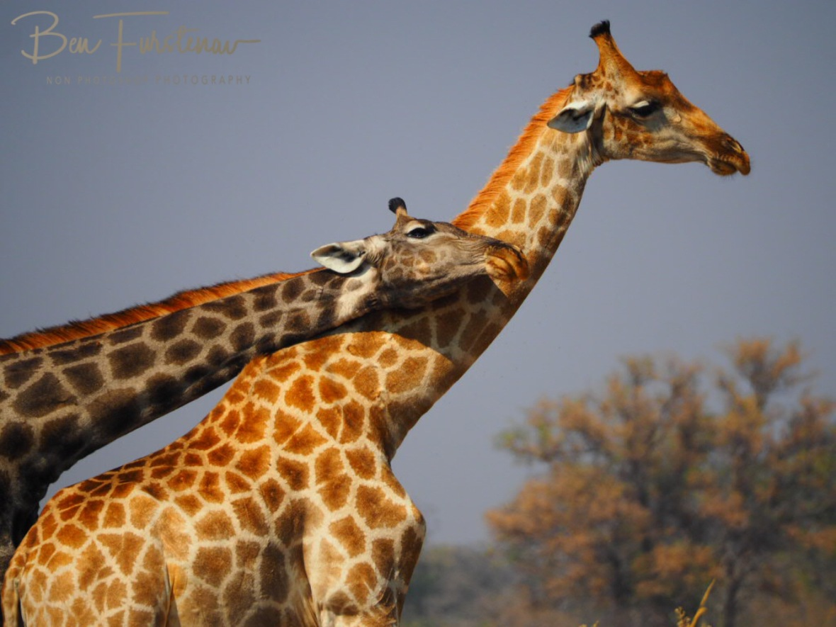 Close up caption, Moremi National Park, Botswana