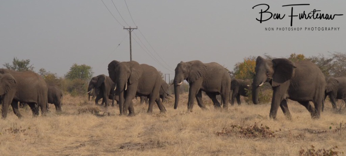 A large herd off elephants roaming the bush around Livingstone, Zambia