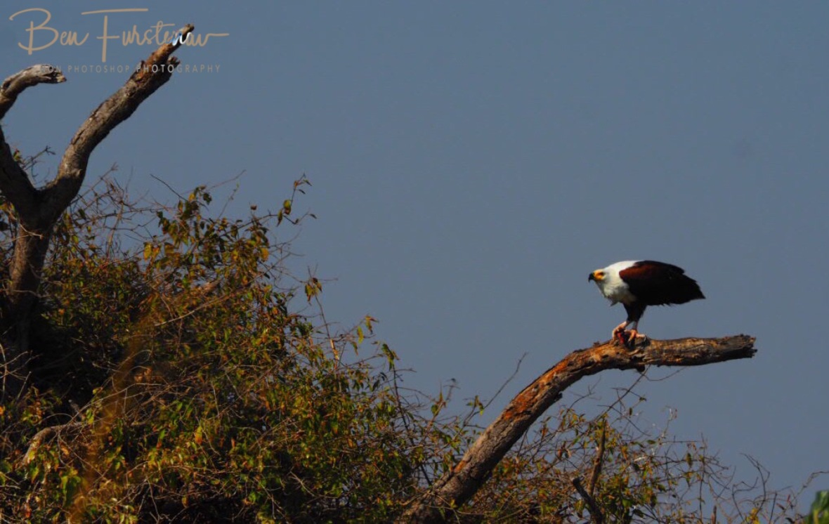 Fish eagle enjoying lunch, Blue Lagoon National Park, Zambia