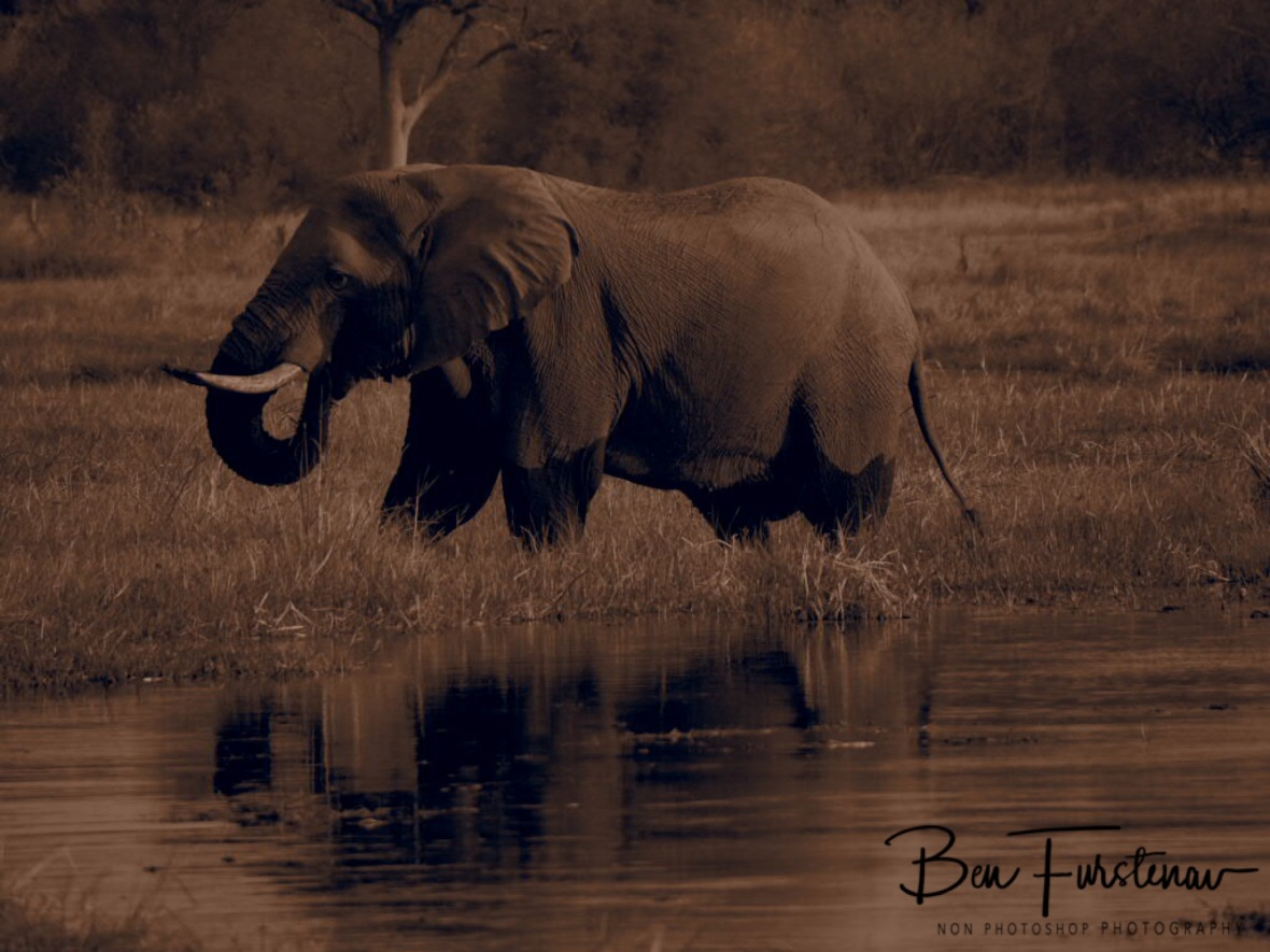 Happy elephant in sepia, Moremi National Park, Botswana
