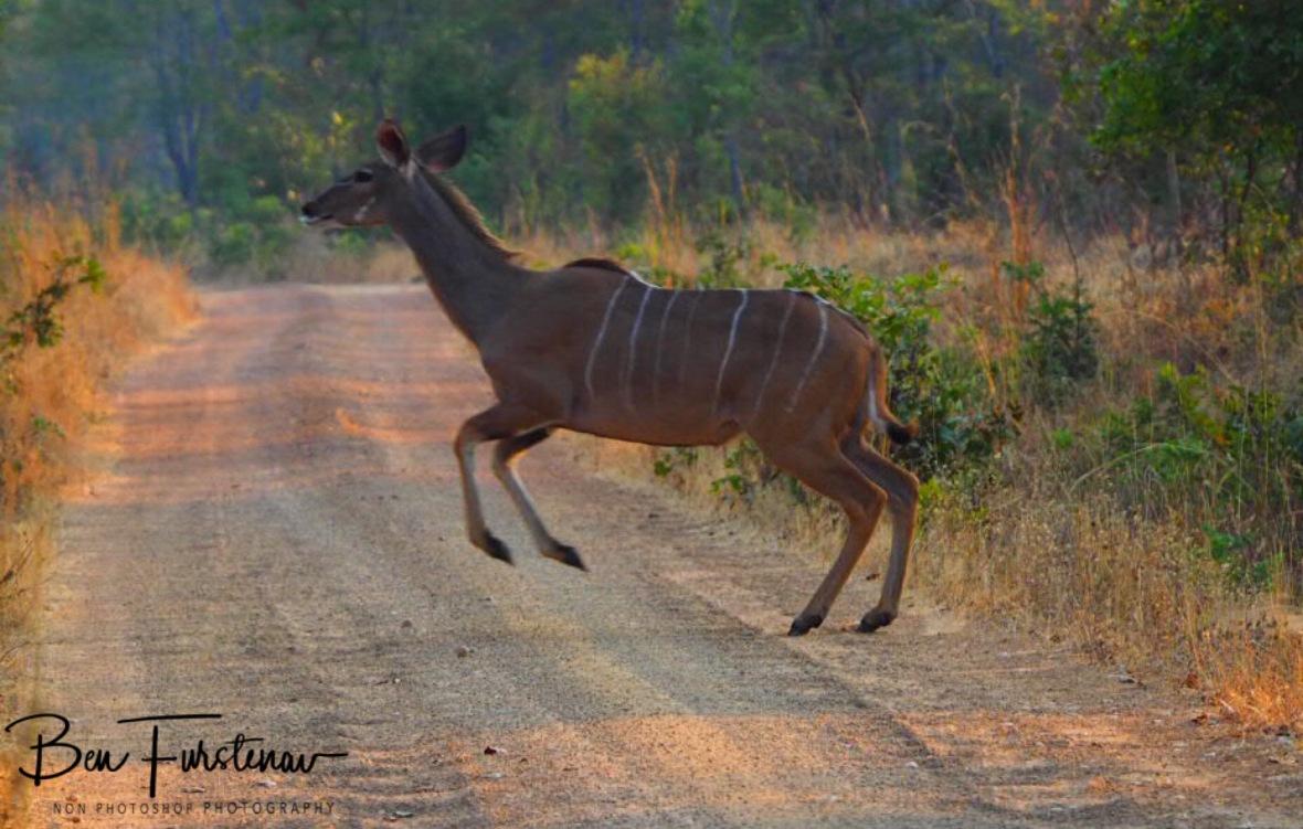 Jumping kudu, Kafue National Park, Zambia
