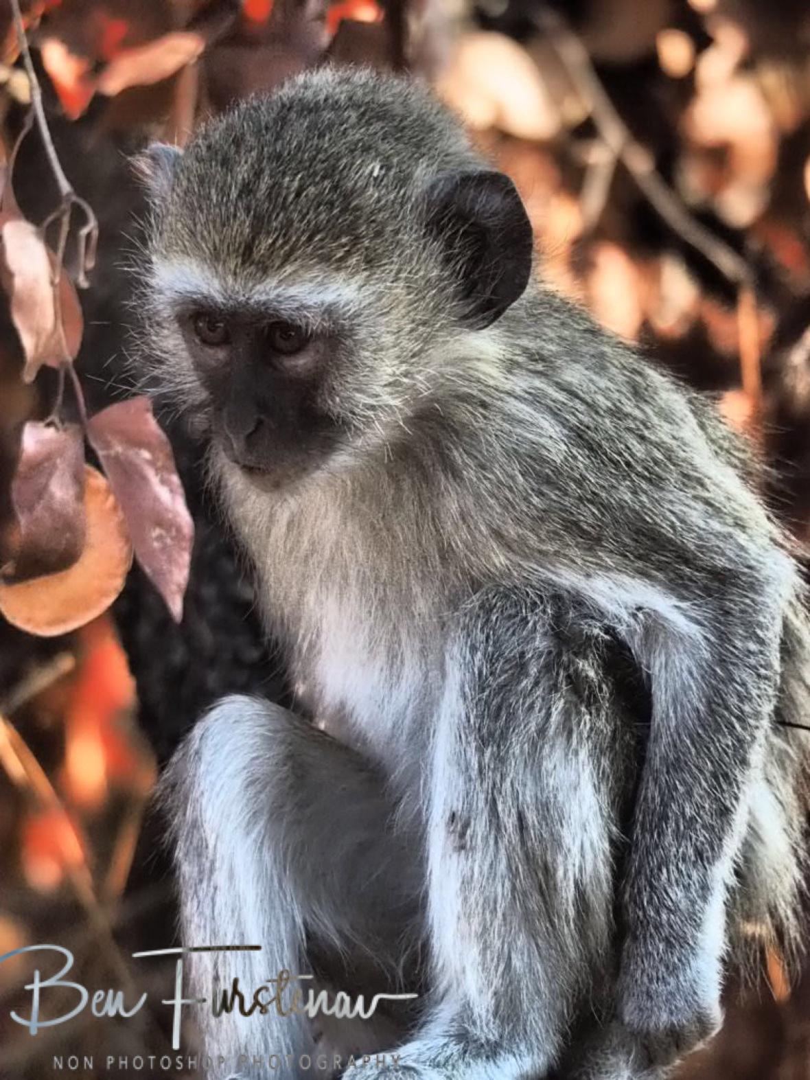 On the lookout for mischief, Moremi National Park, Okavango Delta, Botswana