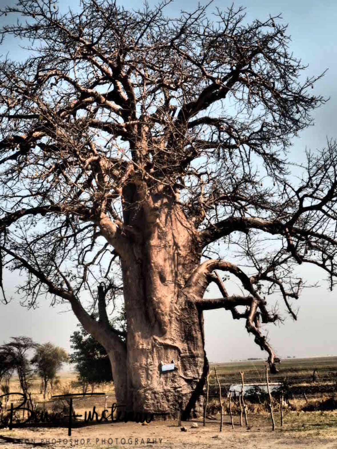 Giant Baobab trees along the swamps in Chobe National Park,Okavango Delta, Botswana