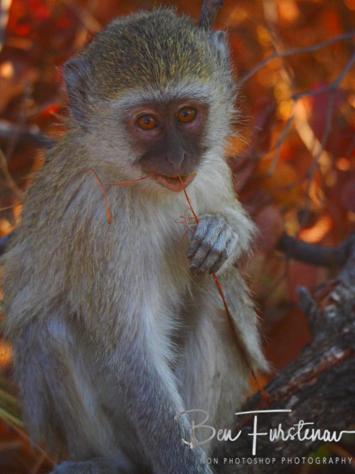 Still chewing, Moremi National Park, Okavango Delta, Botswana