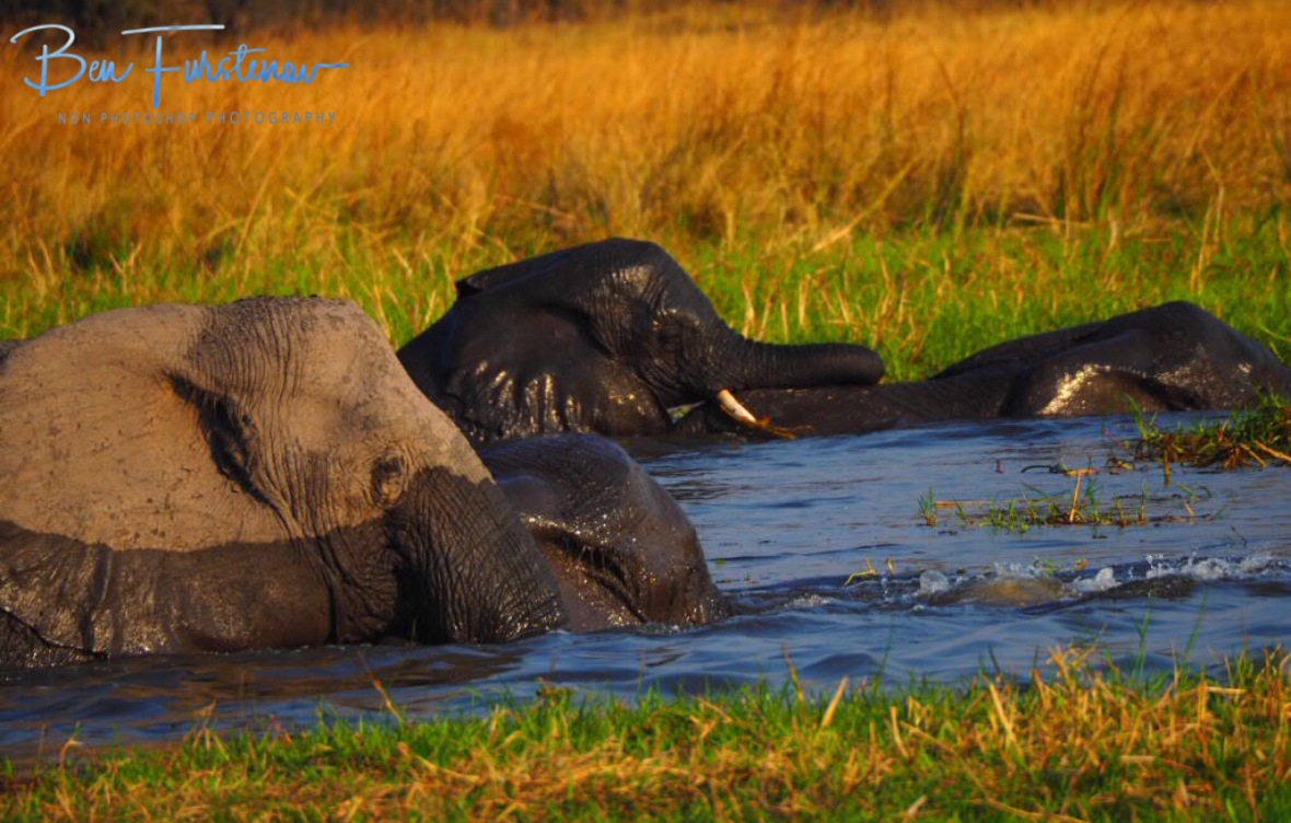 Humpback elephants, Moremi National Park, Botswana