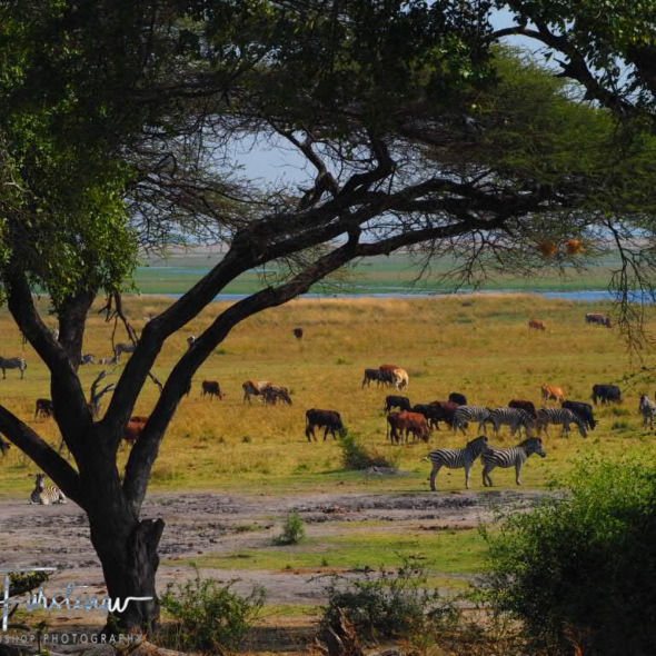 Domestic and wild grazers, Chobe National Park, Okavango Delta, Botswana