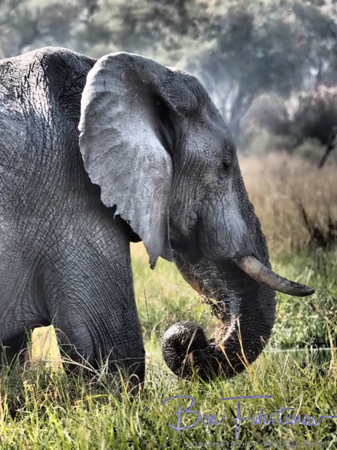 Impressive trunk size, Moremi National Park, Botswana
