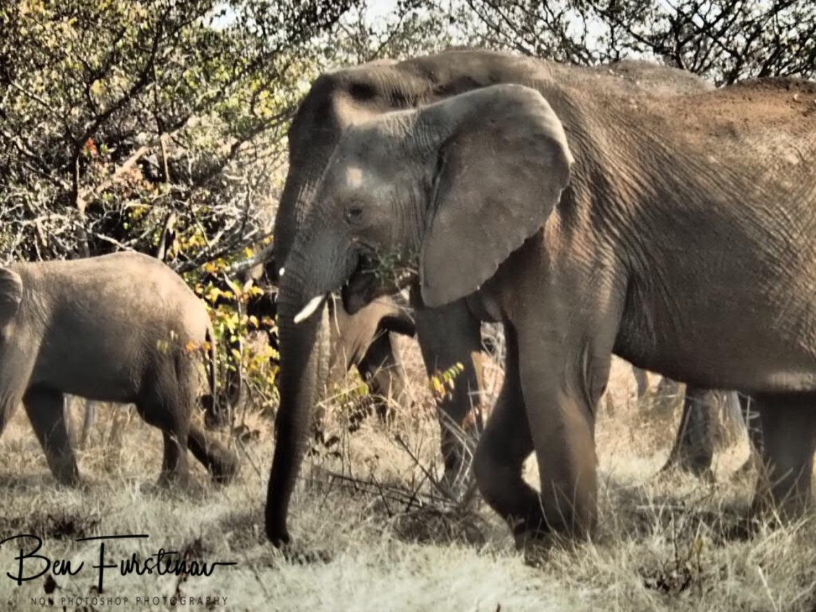 Happy munching elephants, Livingstone, Zambia