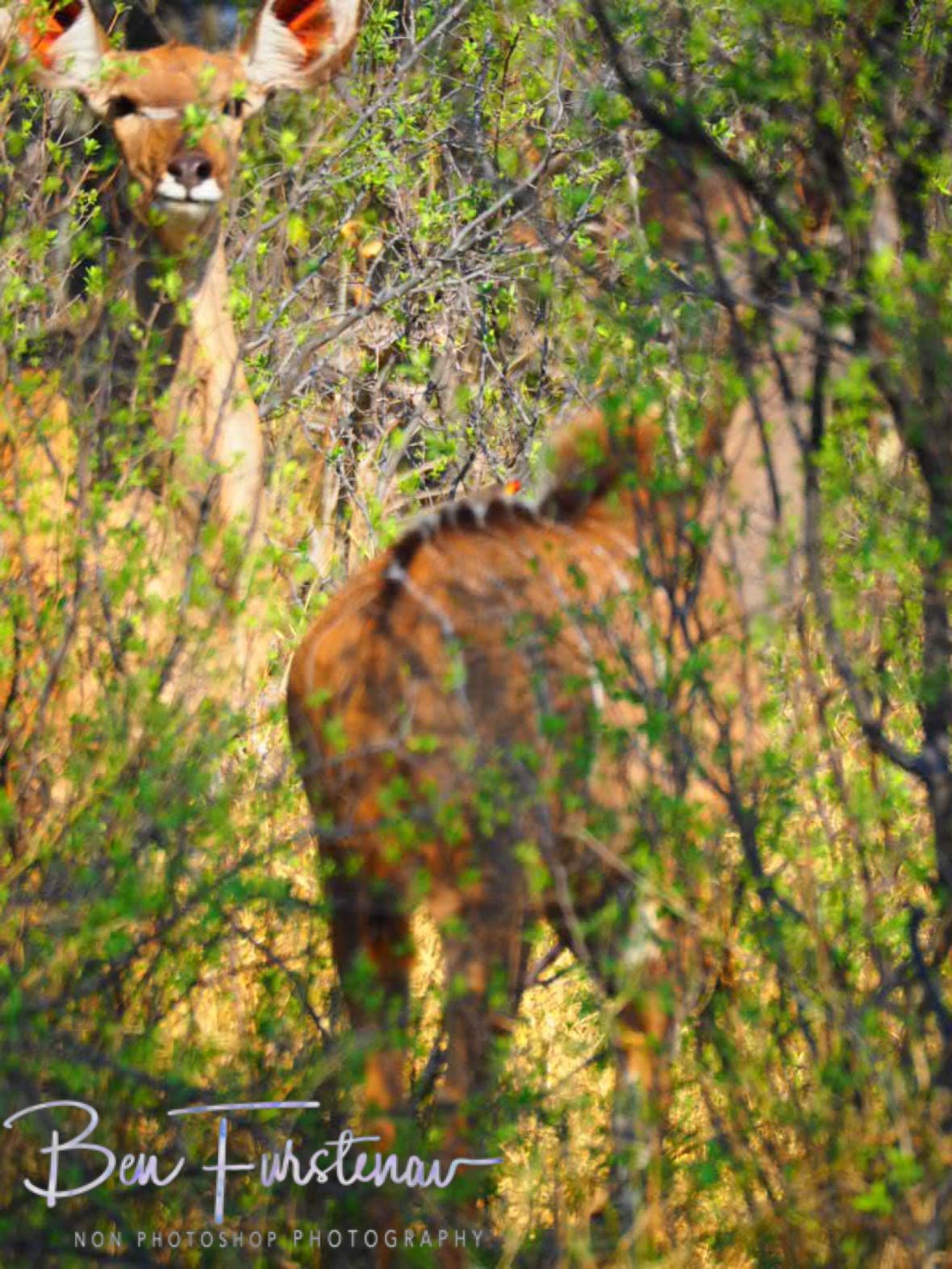 Interesting shot, body of one, head of another, Moremi National Park, Okavango Delta, Botswana