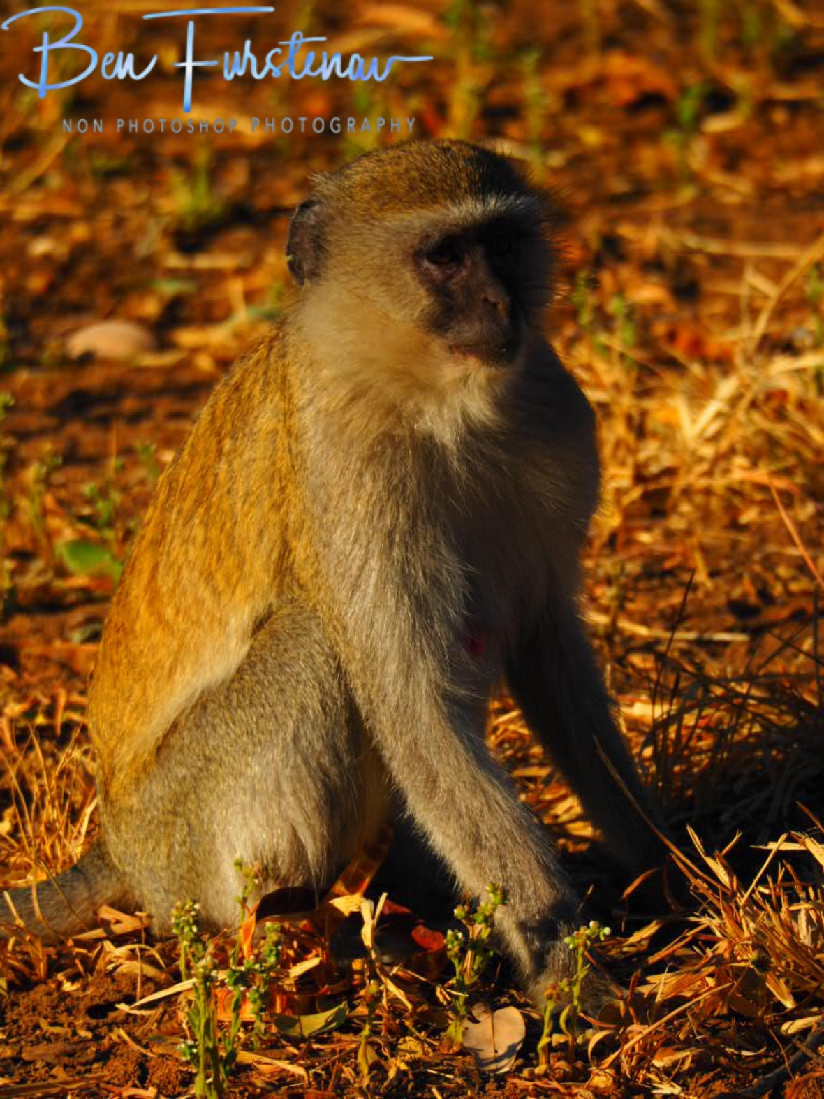 Worried monkey?, Blue Lagoon National Park, Zambia