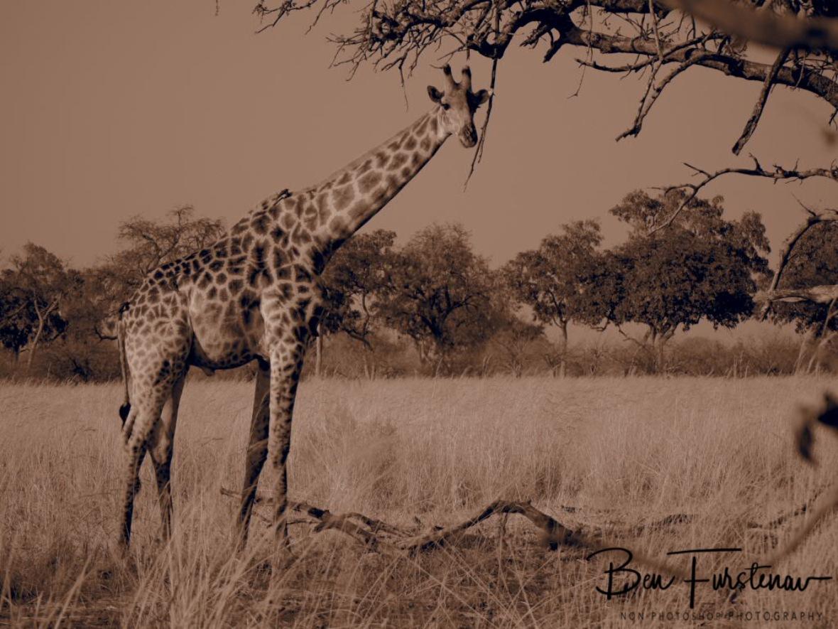 Single giraffe, Moremi National Park, Okavango Delta, Botswana