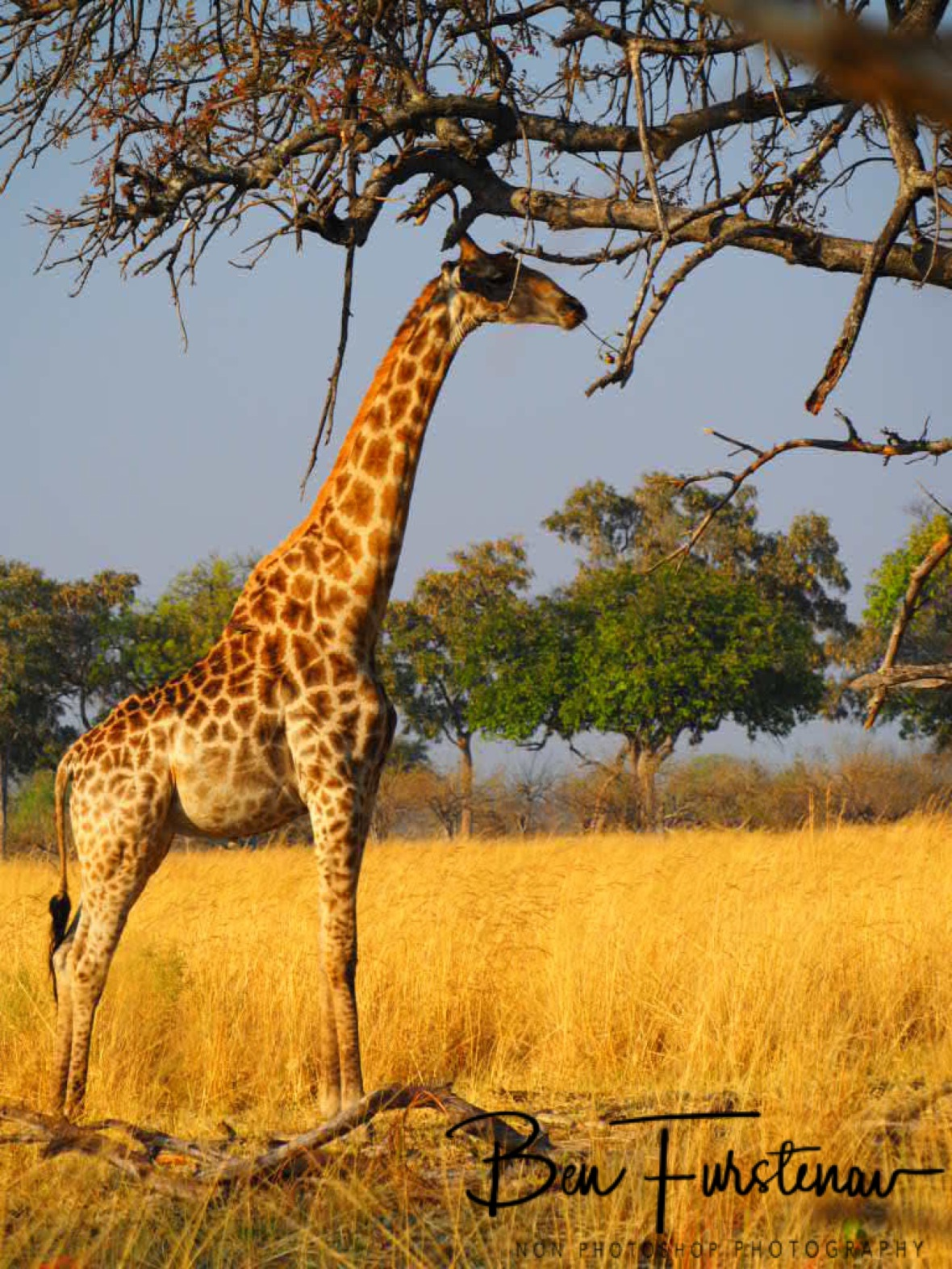 Shade is hard to find for Giraffes, Moremi National Park, Botswana
