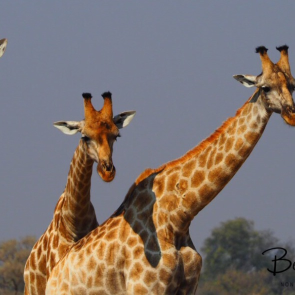 Giraffe three some, Moremi National Park, Okavango Delta, Botswana